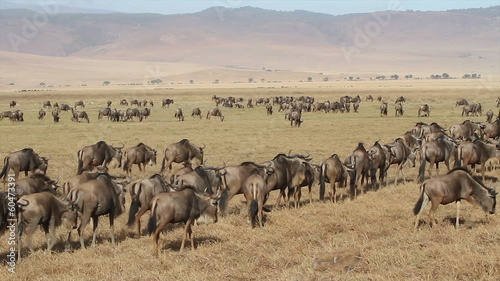 Herds of gnus and wildebeests in the Ngorongoro crater