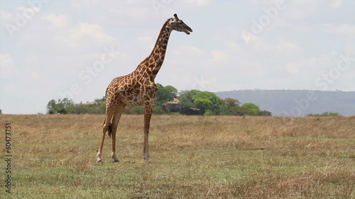 Giraffe eating in Serengeti