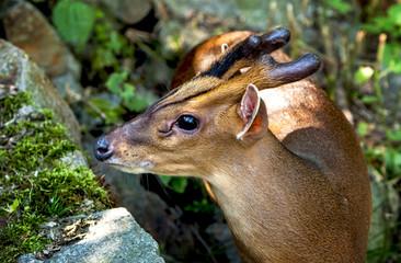 Portrait of muntjak deer