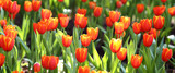 coloured tulip on nature background
