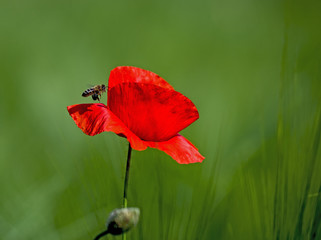 Red corn poppy and a bee