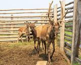 Family Siberian stag in the enclosure. Altai. Russia. poster