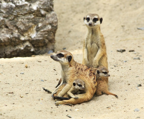 Family of meerkats with cubs.