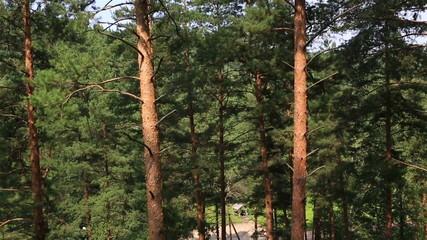 Beautiful vegetation on the hillside in Belokurikha.