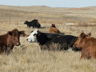 Resting Beef Cattle