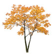 bright orange isolated maple tree