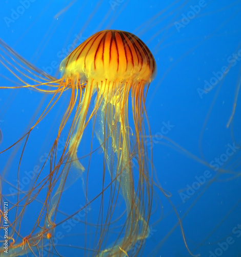Aquarium with yellow jellyfish