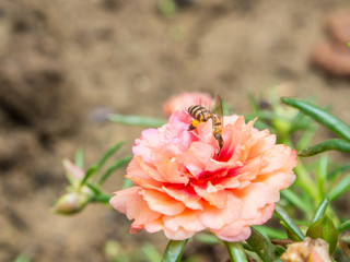 bee on the Common Purslane flower