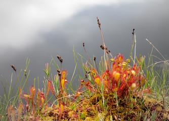 English sundew