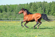 Thoroughbred racer runs on a green summer meadow