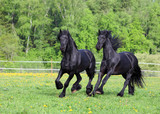 Two Friesian stallion playing in the pasture at summer.