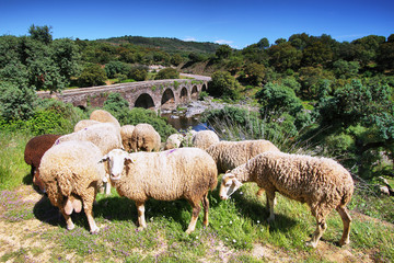 Sheeps looking at me and roman bridge at background