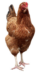 Brown hen isolated on a white background.
