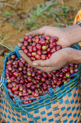 arabica coffee berries on hand