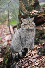 Wildkatze Tarnung