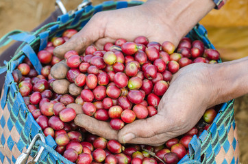 Close up arabica coffee berries on hand.
