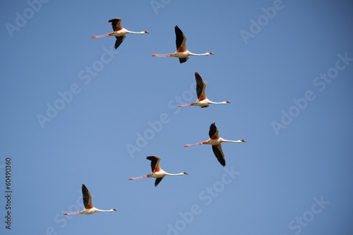 Lesser Flamingo group flying against blue sky.