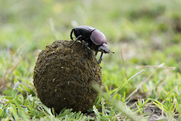 Dung Beetle on top of a ball of droppings.
