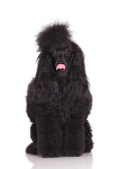 adorable black poodle dog