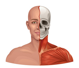 Human anatomy facial muscles and skull