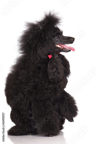 poodle dog on white