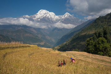 Women harvesting millet with Annapurna range in background