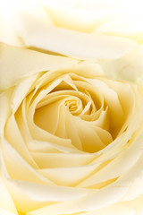 Natural tint yellow roses background