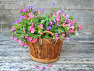 Flowering Lungwort (Pulmonaria) in a basket on a old wooden