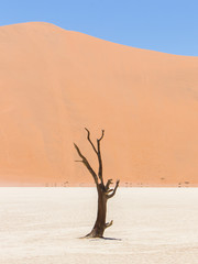 Lonely dead acacia tree in the Namib desert