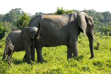 Elefantenbaby trompetet