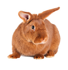 Purebred rabbit. Isolated on white background
