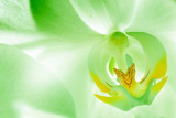 Green orchid flower close up