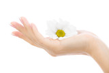 Female hand with a chrysanthemum isolated on a white background