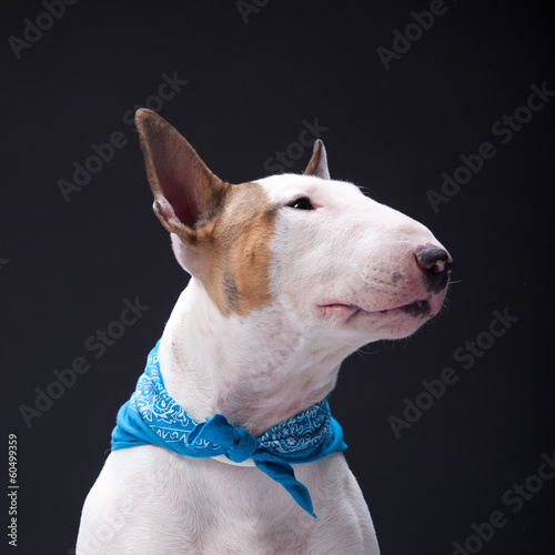 Bull Terrier on isolated background