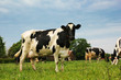 Schwarzbunte Kuh auf der grünen Weide
