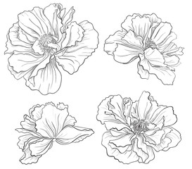 Flower hand drawn poppy
