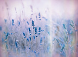 Soft focus on lavender