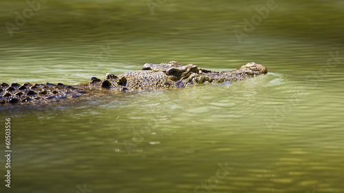 Saltwater crocodile swimming