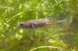 Male Ninespine Stickleback