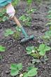 raking of strawberry plantation