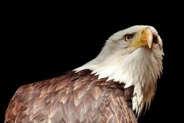 Portrait eines Adler (Weißkopfseeadler / Haliaeetus)