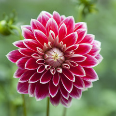 single flower of red dahlia
