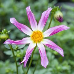 single flower of dahlia