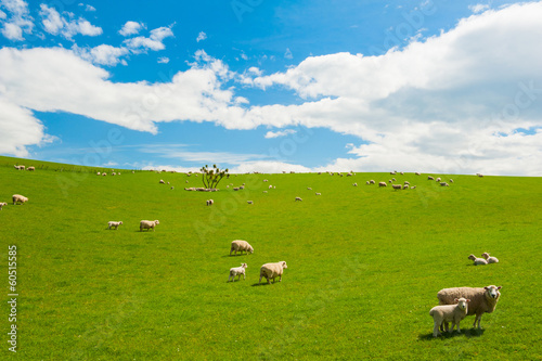 Poster Oceanië Sheep in the New Zealand