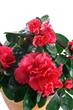 pianta di azalea fiorita