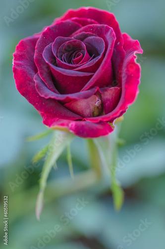 Red rose in the garden © artpritsadee