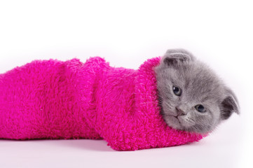 Scottish young kitten in a sock on a white background