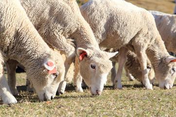 草を食べる羊