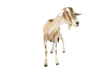 Female goat standing against a white background.