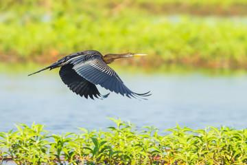Oriental darter(Anhinga melanogaster) flying